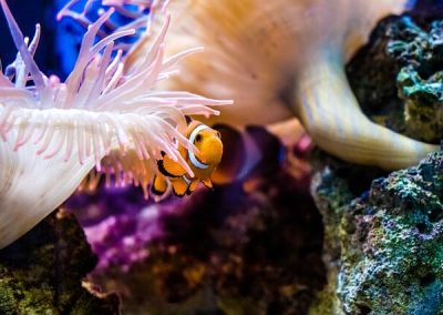 clown-fish-2183407_640 (1)